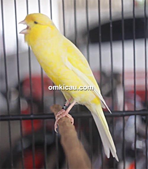 Kenari Lemonthy