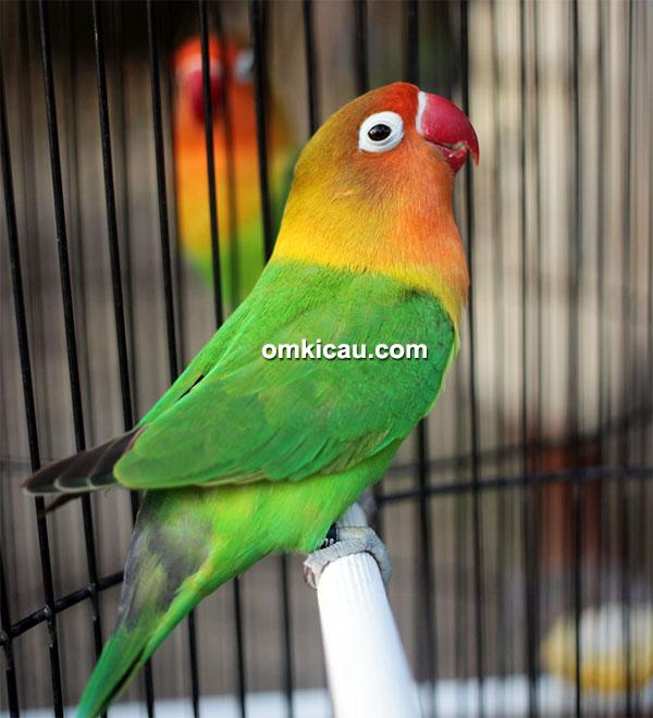 Lovebird Ratu Jr