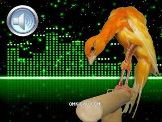 Download ragam suara kenari postur