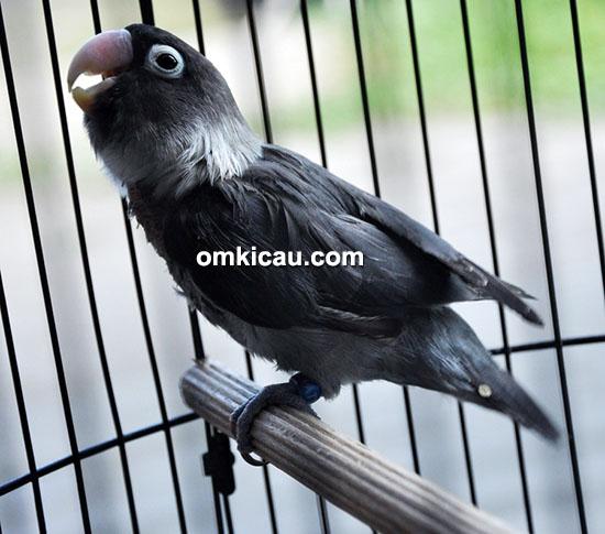 Lovebird Black Lady