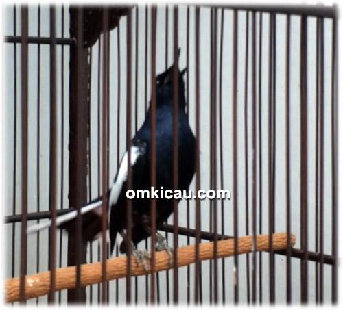 Kacer dada hitam Black Saphire