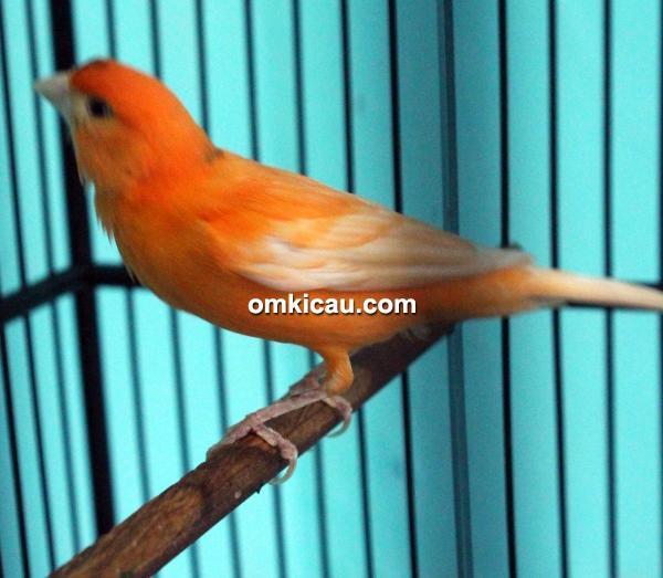 CBCL Canary - Kenari Zola