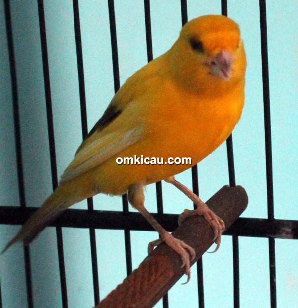 CBCL Canary - Kenari Zoro