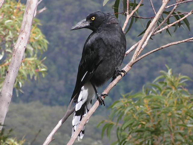 Pied curawong