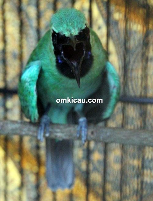 cucak hijau Dolphino