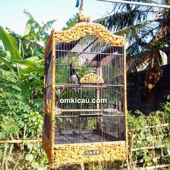 Kacer Maharaja milik Mr Baim Bali