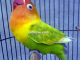 Lovebird Kencana Sari