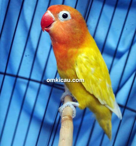 Lovebird Yellow Lady