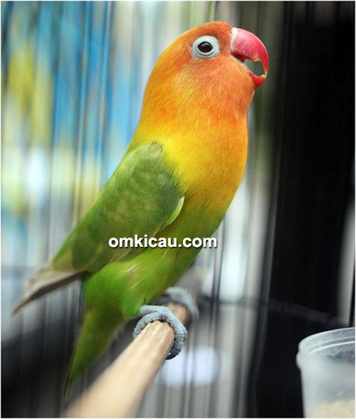 Lovebird Bongkar Kajang