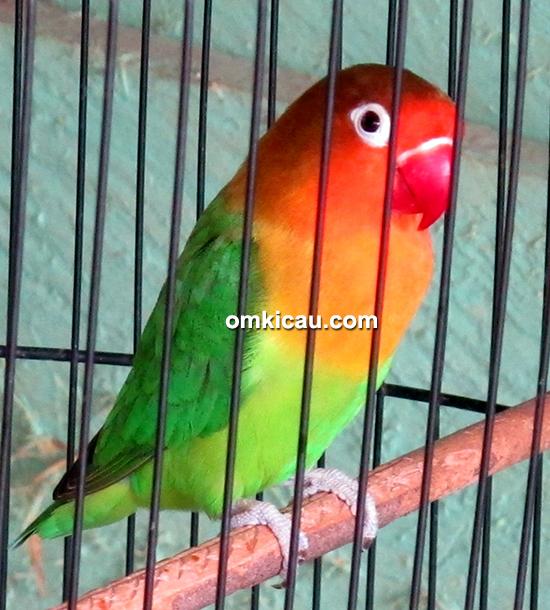 Lovebird Pilot