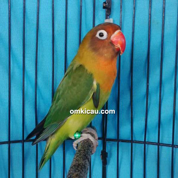 Lovebird Naomi
