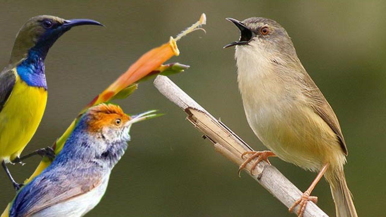 Suara Burung Download Di Sini