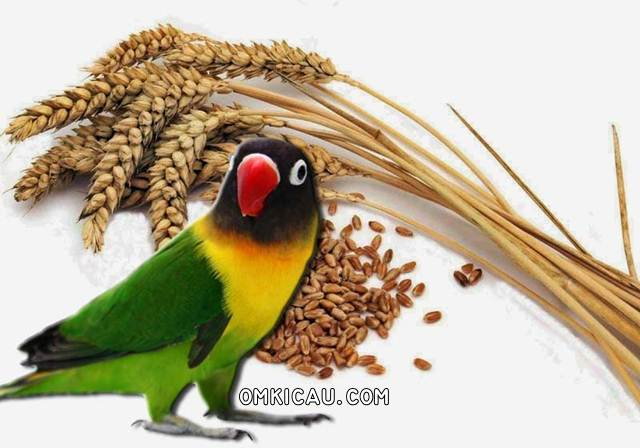 Biji gandum dan beragam manfaatnya untuk burung peliharaan
