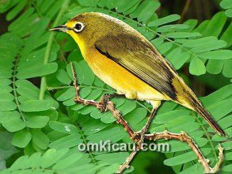 Khasiat daun saga bisa hilangkan serak pada burung