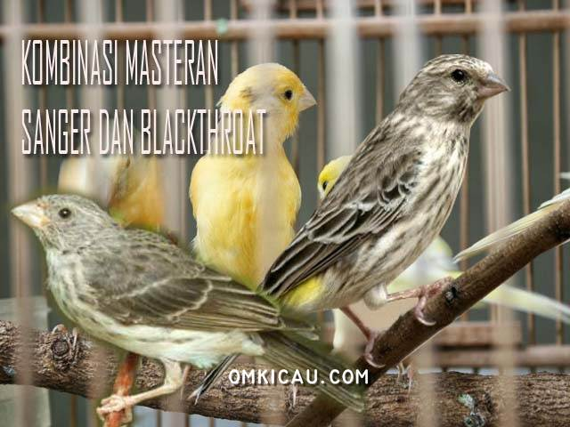 Kombinasi masteran sanger dan blacktrhoat untuk kenari