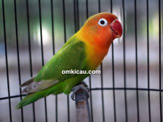 Lovebird Citra
