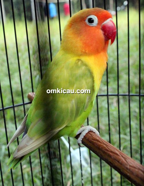 Lovebird Suramadu