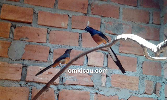 Breeding murai batu SBH Bird Farm Jambi