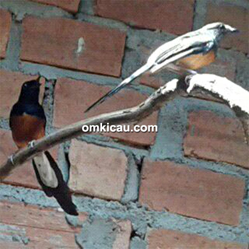 Breeding murai batu SBH Bird Farm Jambi