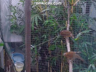 ternak hwamei - pasangan induk