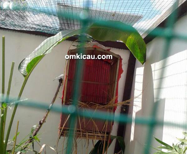 ternak hwamei - sarang pertama