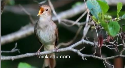 variasi lagu burung nightingale