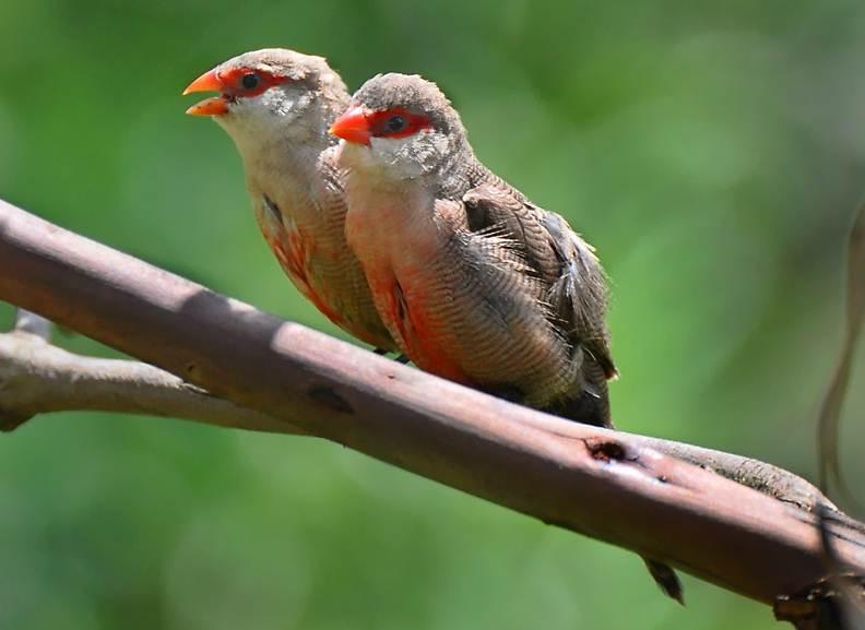 Sepasang common waxbill, burung jantan di sebelah kanan