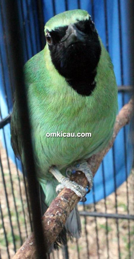 Cucak hijau Asoka