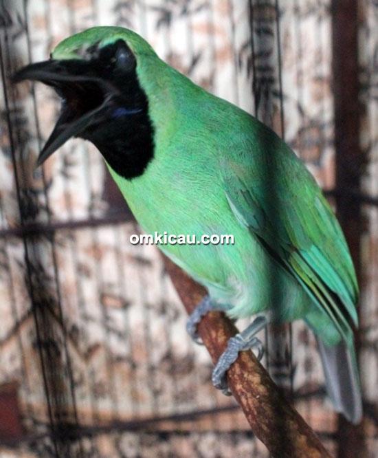 Cucak hijau Astra Jingga
