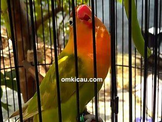 lovebird Venna