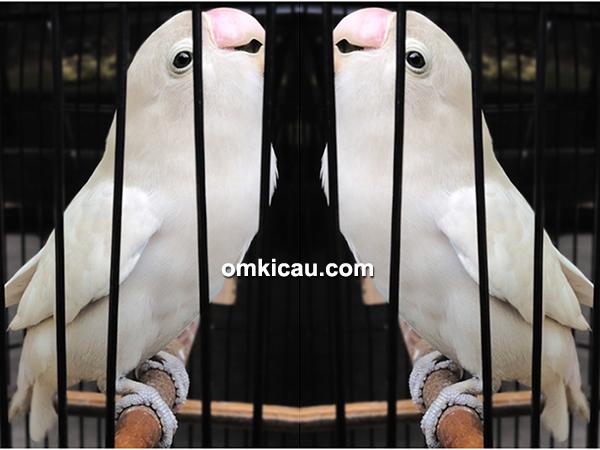 feat lovebird White