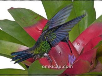 Bagaimana kolibri menghisap nektar