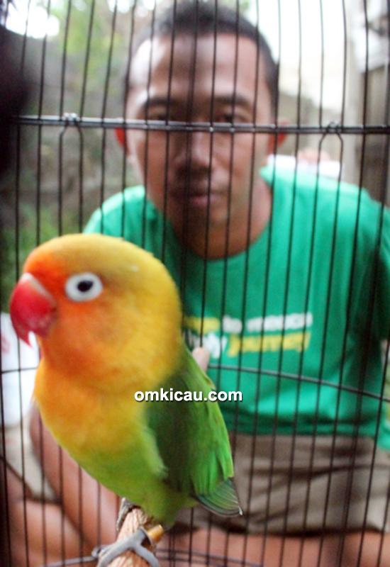 lovebird Dewa Mabuk