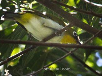 Kacamata dagu-kuning dari Papua yang bersuara lantang