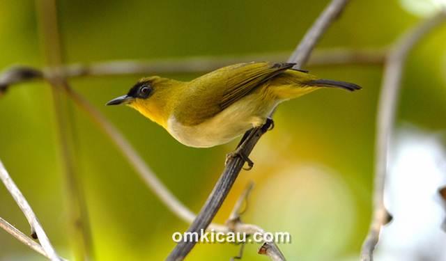 Kacamata togian burung endemik Kep. Togian, Sulawesi Tengah