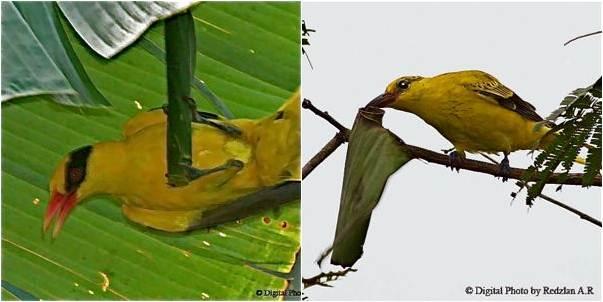 Burung kepodang yang gemar memakan ulat daun pisang