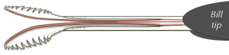 Ujung bercabang dari lidah burung kolibri yang berumbai dengan dua alur di bagian tengahnya.