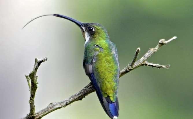 Burung kolibri dengan lidah yang sama panjang dengan ukuran paruhnya