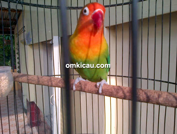 Lovebird Angeline