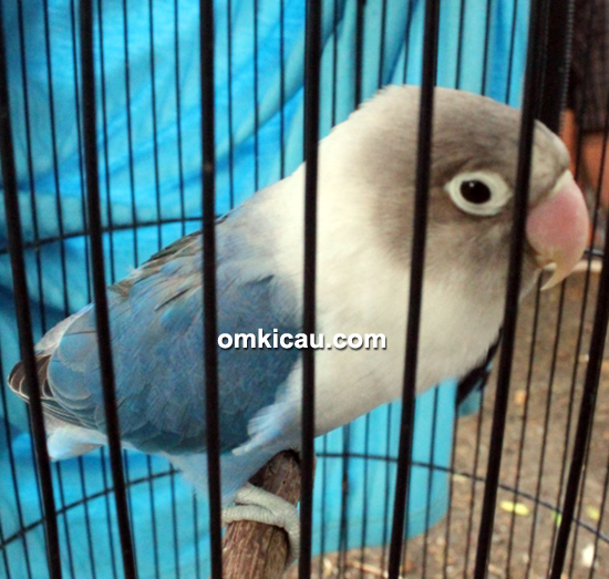 Lovebird Ken Ayu