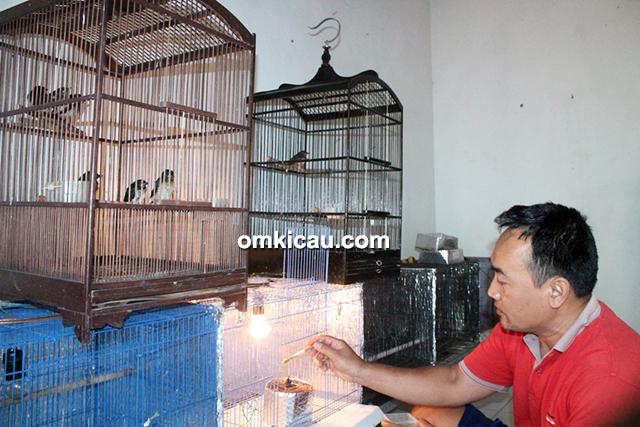 breeding murai batu Mascot BF Depok