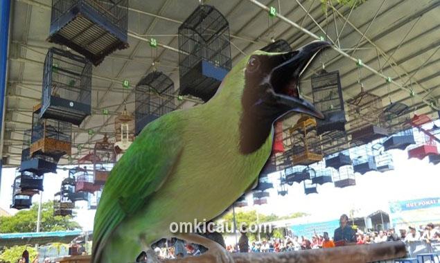 Memahami karakter burung cucak hijau sebelum dilombakan