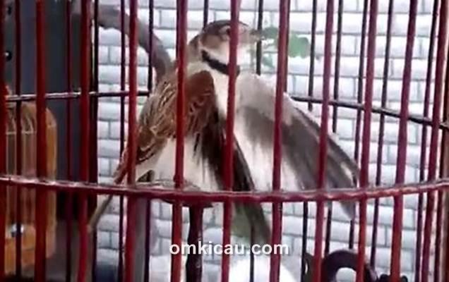 Menjinakkan burung mongolian lark bakalan