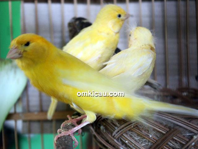 breeding kenari Rofiq Asngudi