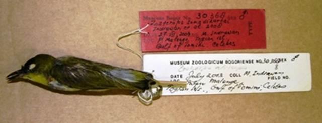 Spesimen kacamata togian di Museum Zoologi Bogor