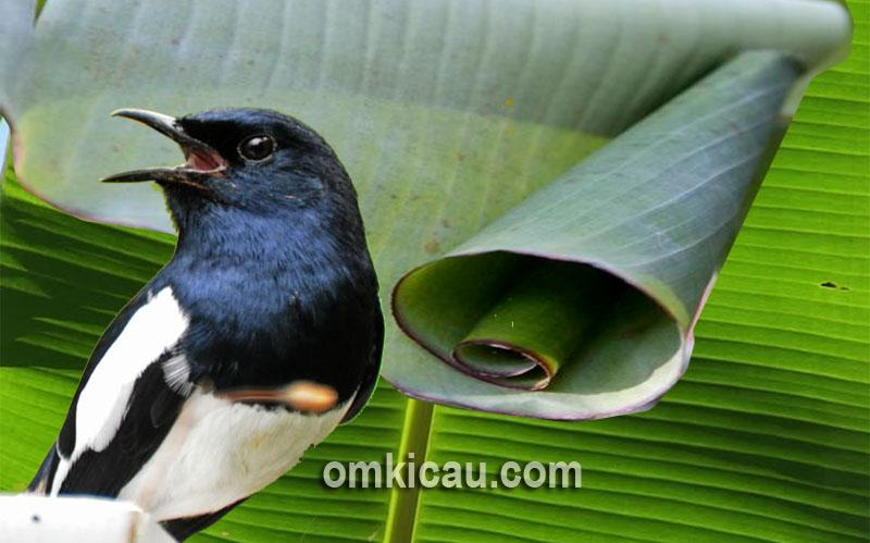 Manfaat ulat daun pisang sebagai doping alami untuk burung kicauan