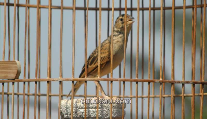 Tips dan trik mengatasi burung branjangan yang macet bunyi