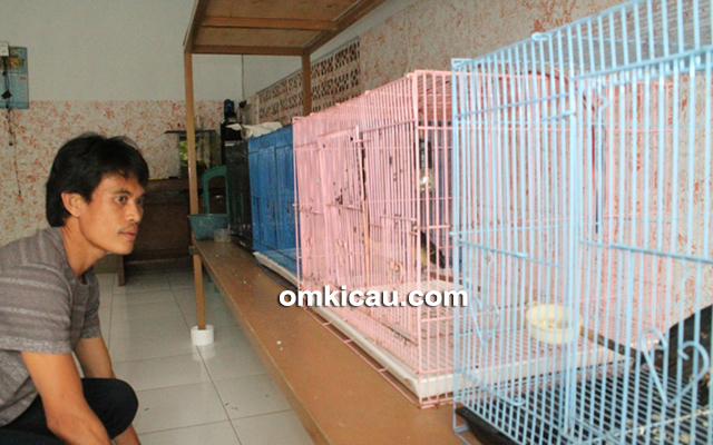 breeding murai batu Arco-Kapuk BF Serang