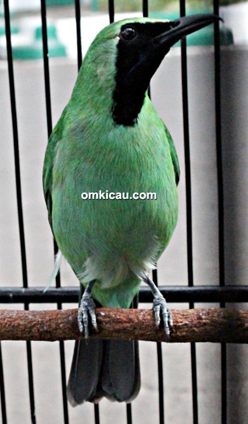 Cucak hijau Raja Goki