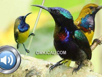 Download kombinasi audio burung-madu untuk masteran dan memancing bunyi